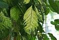 Polyscias guilfoylei Variegata 0zz.jpg