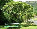 Polyscias hawaiensis (5210150910).jpg