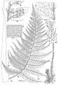 Polystichum uahukaense drawing.jpg