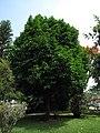 Pomarroso - Pero de agua (Syzygium malaccense) (14222656627).jpg