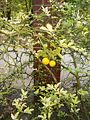Poncirus trifoliata HabitusLeavesFruits BotGardBln0906.JPG