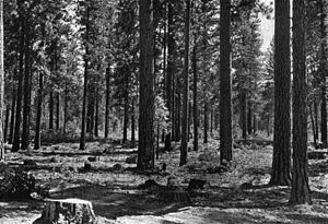 Habitat conservation - There are significant ecological benefits associated with selective cutting. Pictured is an area with Ponderosa Pine trees that were selectively harvested.