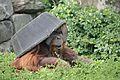 Pongo abelii at the Philadelphia Zoo 011.jpg