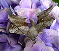 Poplar Hawkmoth. . Laothoe populi. - Flickr - gailhampshire (2).jpg