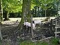 Porcs al coll d'Ezcurra P1270475.jpg