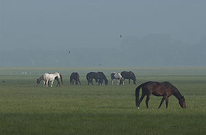 Port Meadow, Oxford - Horses in the mist on Port Meadow.