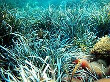 Posidonia Oceanica Wikipedia