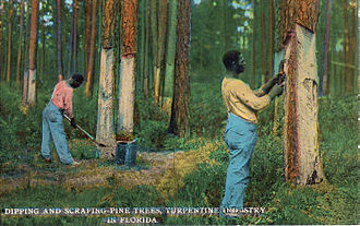 Turpentine - A 1912 postcard depicting harvesting pine resin for the turpentine industry