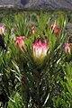 Protea repens (Proteaceae) (4576148744).jpg