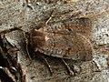 Protolampra sobrina - Cousin German - Земляная совка красноголовая (27224926298).jpg