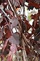 Prunus Krauter Vesuvius 0zz.jpg