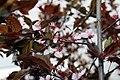 Prunus cerasifera Thundercloud 16zz.jpg