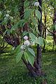 Prunus maackii Oulu, Finland 2014-06-04.jpg