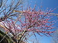 Prunus persica in April in Rome 03.JPG