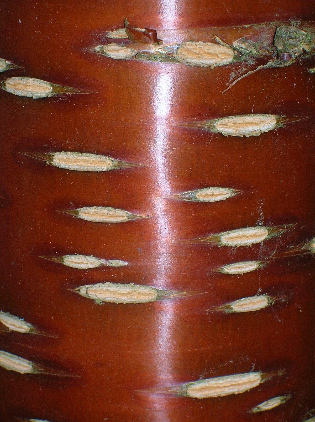 Lenticela wikipedia la enciclopedia libre for Cuales son los arboles perennes