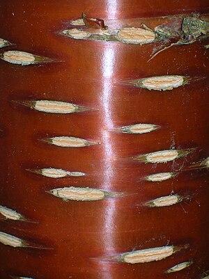 Lenticel - Image: Prunus serrula bark lenticels, Dawyck Botanic Gardens