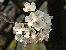 Sakura Wikipedia