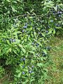 Prunus spinosa heavy with sloes.jpg