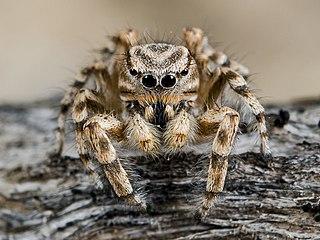 <i>Pseudomogrus</i> Genus of spiders