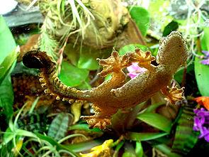 Kuhls Faltengecko (Ptychozoon kuhli) an einer Terrarienscheibe.