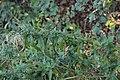 Puccinia pulverulenta on Epilobium sp. (31599895518).jpg