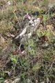 Pulsatilla pratensis subsp. bohemica.jpg