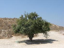 Растение Гранат Гранатовое дерево описание виды