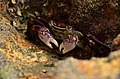 Purple Shore Crab (111095653).jpeg