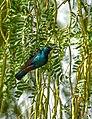 Purple sunbird .jpg