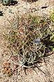 Puya laxa - San Francisco Botanical Garden - DSC09791.JPG