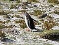Pygoscelis papua -East Falkland-8d.jpg