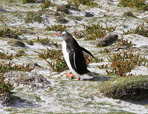 Bertha's Beach Important Bird Area - Gentoo penguin returning to its colony on Bertha's Beach
