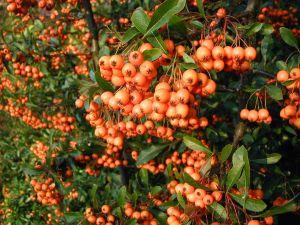 Früchte Des Mittelmeer Feuerdorns Pyracantha Coccinea