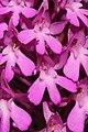 Pyramidal Orchid - Anacamptis pyramidalis (14483813961).jpg