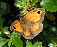 Pyronia tithonus.jpg