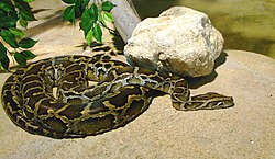 Python molurus bivittatus Ile aux Serpents 201108 1.jpg
