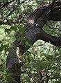 Python natalensis in a tree Botswana.jpg