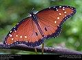 Queen Butterfly (Nymphalidae, Danaus gilippus) (30422394424).jpg