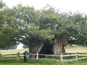 Queen Elizabeth oak, Cowdray Park, near Lodsworth - geograph.org.uk - 970020.jpg