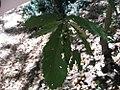 Quercus acutissima 7zz.jpg