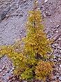 Quercus faginea xQ. pyrenaica habitus 2009December13 DehesaBoyaldePuertollano.jpg