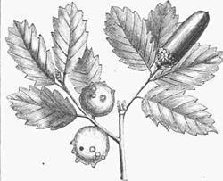 Quercus infectoria.jpg