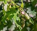 Quercus robur in Aveyron 11.jpg