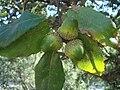 Quercus suber c.JPG