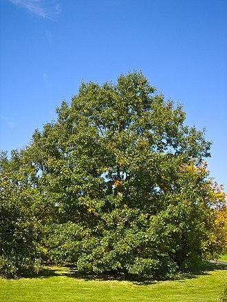 Quercus velutina - Image: Quercus velutina 001