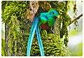 Quetzal at Biotopo del Quetzal in Baja Verapaz, Guatemala.jpg
