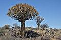 Quiver tree forest, Aloe rozsochatá - Namibie - panoramio (5).jpg
