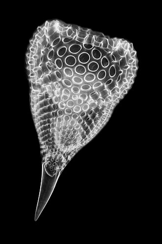 Siliceous ooze - A radiolarian, 160x magnified