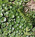 Radolinek Hydrocotyle vulgaris 01.07.10 p.jpg