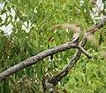 Rainbow Bee-eater. Merops ornatus (48722632697).jpg